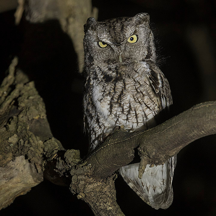 Eastern Screech-owl (female) at Inwood Hill Park Manhattan by Deborah Allen on 10 March 2018