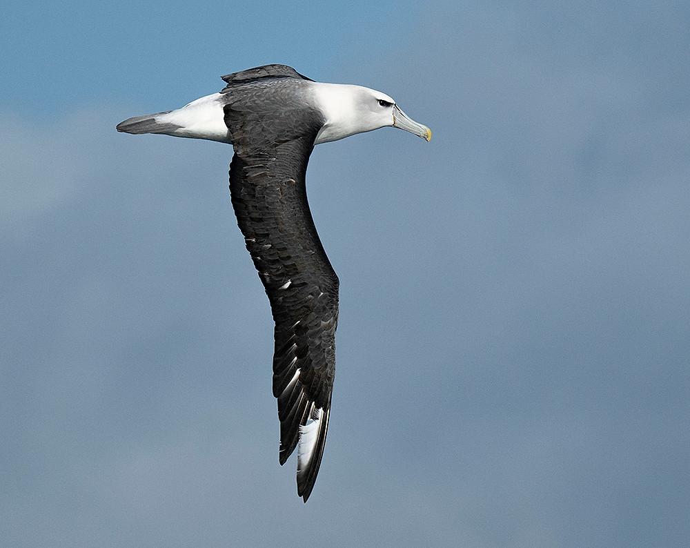 White-capped Albatross near Stewart Island (southern New Zealand) on Friday 29 November 2019