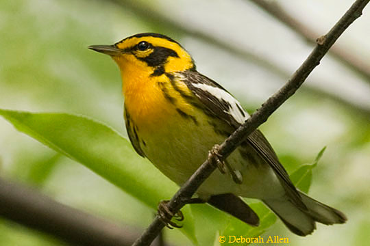 Blackburnian Warbler in Central Park by Deborah Allen