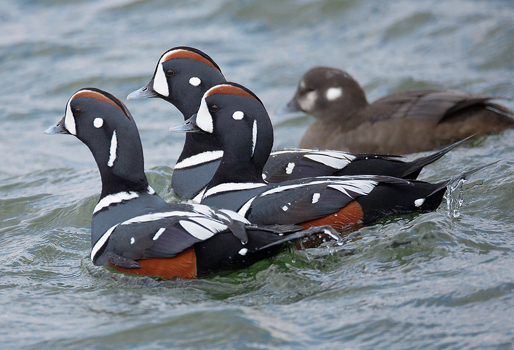 Harlequin Ducks at Barnegat Lighthouse in New Jersey in March 2014