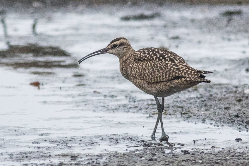 Whimbrel #2 photographed by Jack Rothman