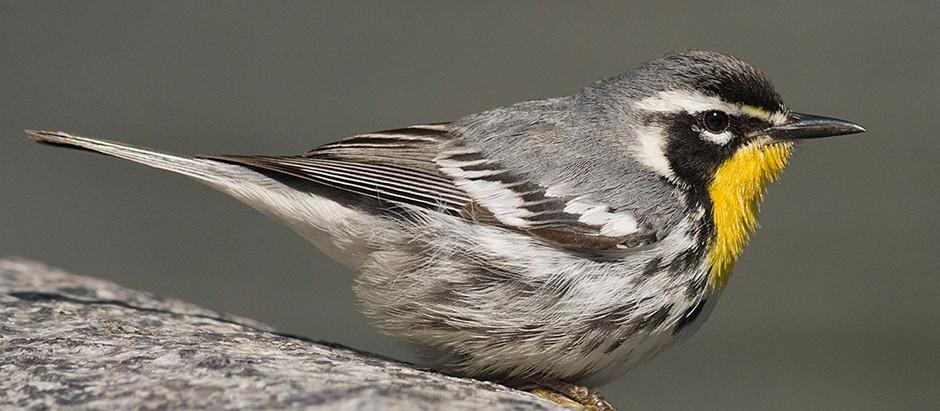 The Vaccination = Birding Central Park