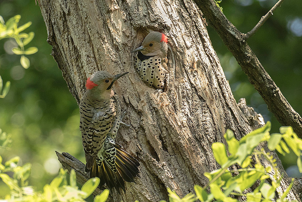 Pair Northern Flickers (male on left) in Central Park (Ramble) on 9 June 2018 by Deborah Allen