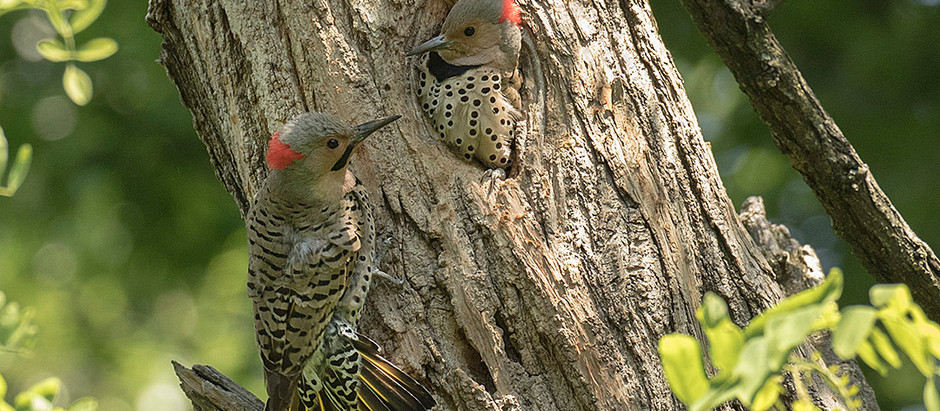 Mid June: Breeding Birds of Central Park and the Jamaica Bay Wildlife Refuge