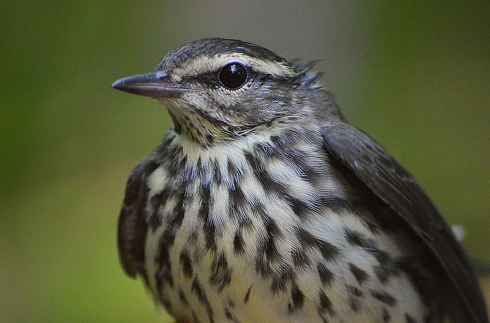Northern Waterthrush on migration by Doug Leffler in August 2018