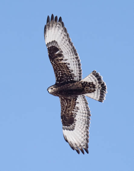 Rough-legged Hawk (Dark morph)