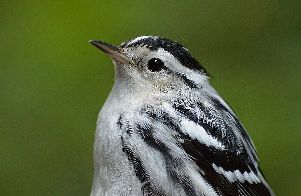 Black-and-white Warbler in Michigan in Autumn 2018 by Doug Leffler