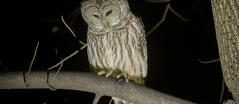 Thoughts on Barry Barred Owl of Central Park: Deceased August 2021