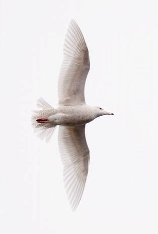Glaucous Gull (Missouri River)