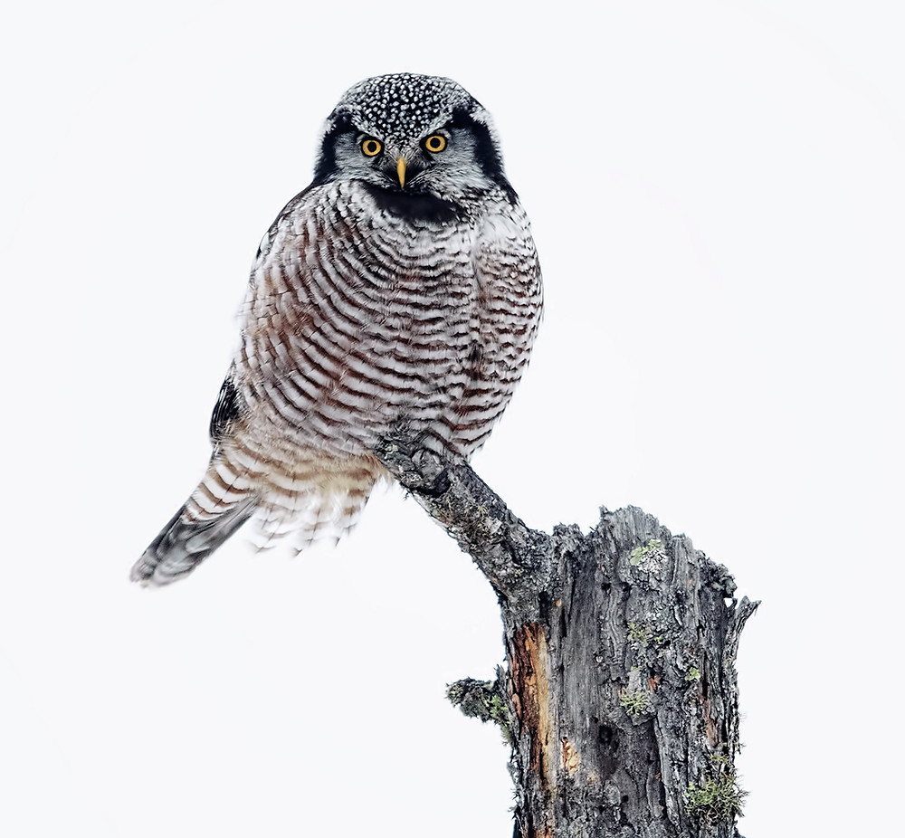 Northern Hawk-owl at Sax-Zim Bog in northern Minnesota, January 2019