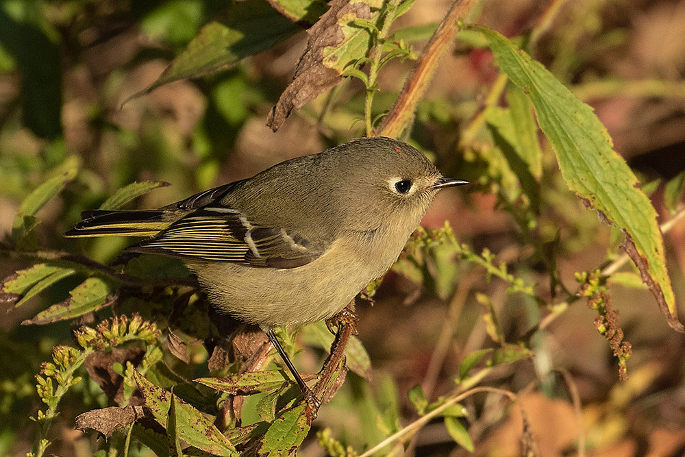 Ruby-crowned Kinglet, Maintenance Field (Ramble, Central Park), Saturday October 19, 2019 by Deborah Allen