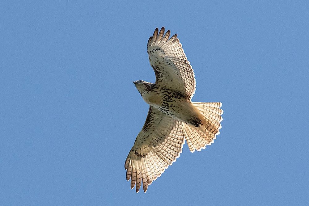 Immature Red-tailed Hawk by Deborah Allen above Shakespeare Garden, Sunday September 29, 2019