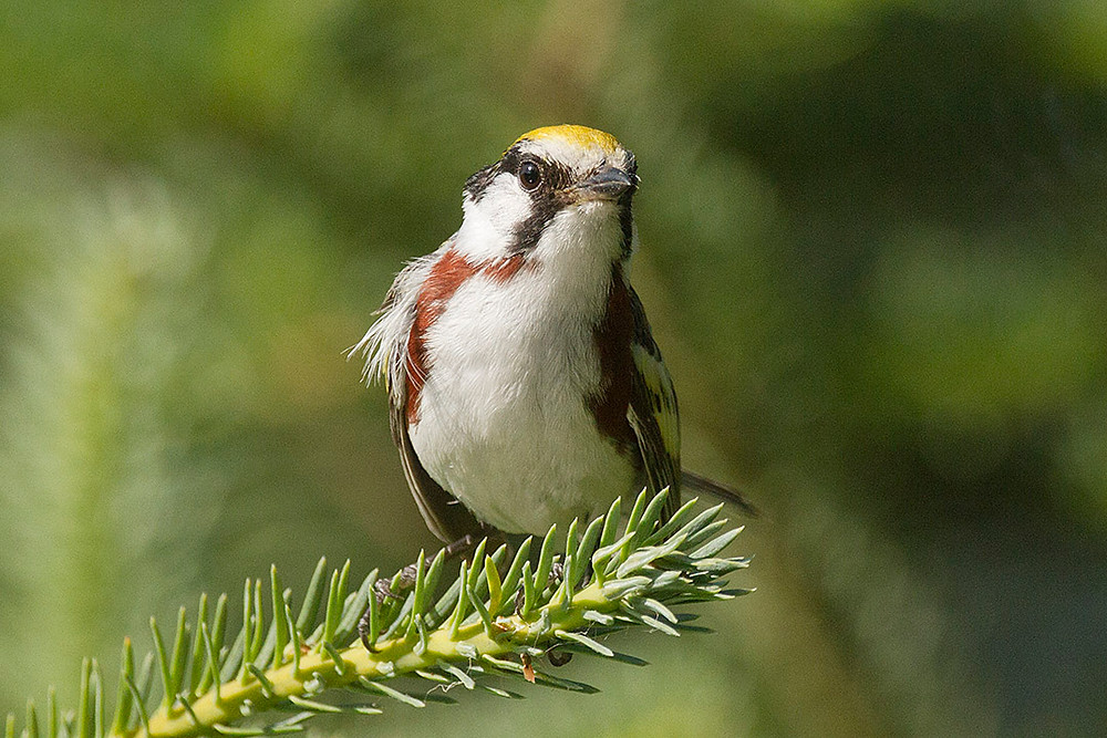 Chestnut-sided Warbler by Deborah Allen on 11 July 2012 (Adirondack Mtns/NY state)