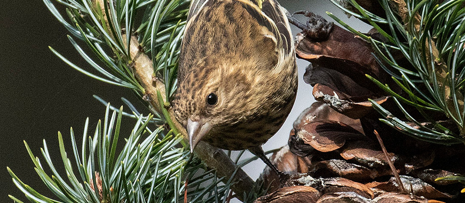 Pine Siskins! Screaming Banshees from the North [Part 1 - Historical Info] - Oct 2020
