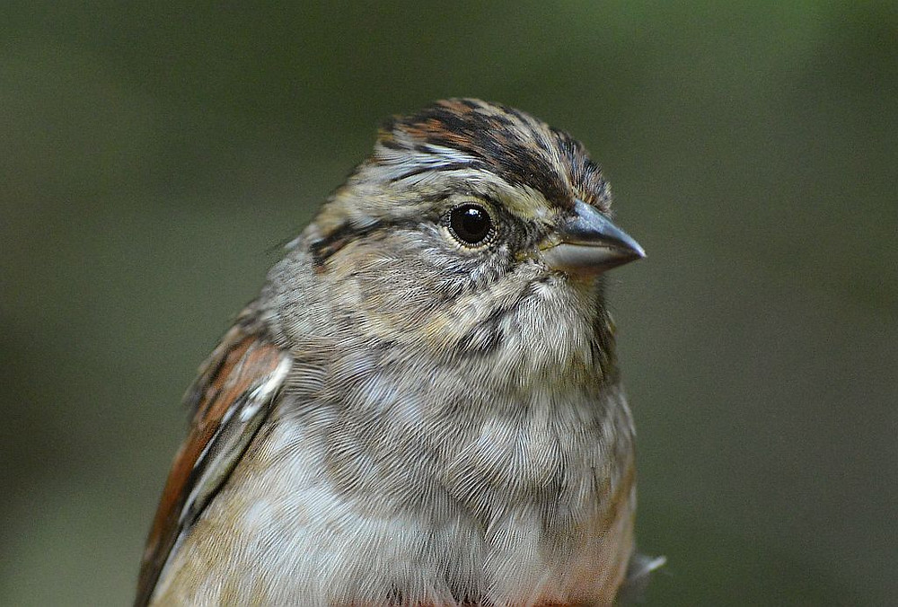Swamp Sparrow by Doug Leffler in October 2018 in Michigan2019