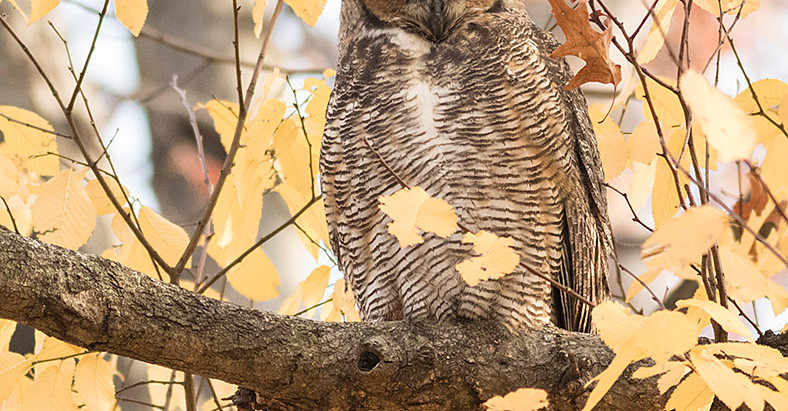 Owl Walks + Christmas Birding in Central Park (not so ordinary bird walks to survive the cold).