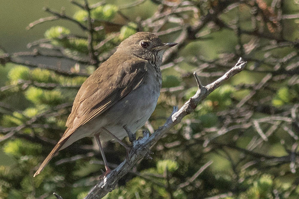 Bicknell's Thrush in the Adirondack Mountains by Deborah Allen in early July 2015
