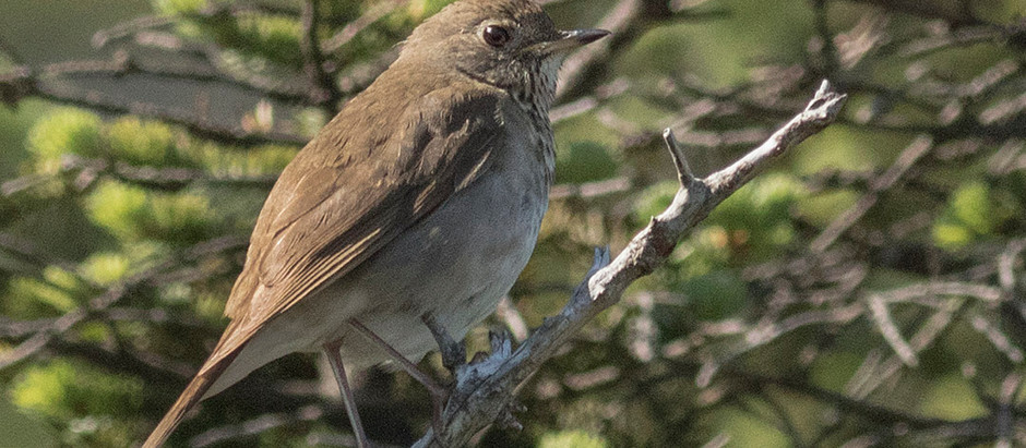 Catch them Now before they're Gone: Bird Migration in Central Park in late May