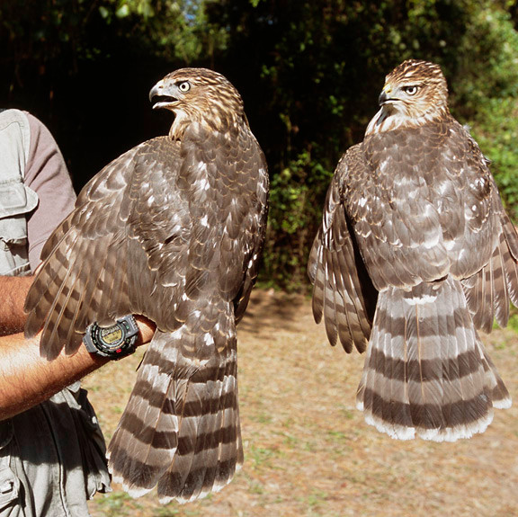 first (hatch) year Cooper's Hawks (female lower left; male lower right) at the Cape May Banding station in August 2002