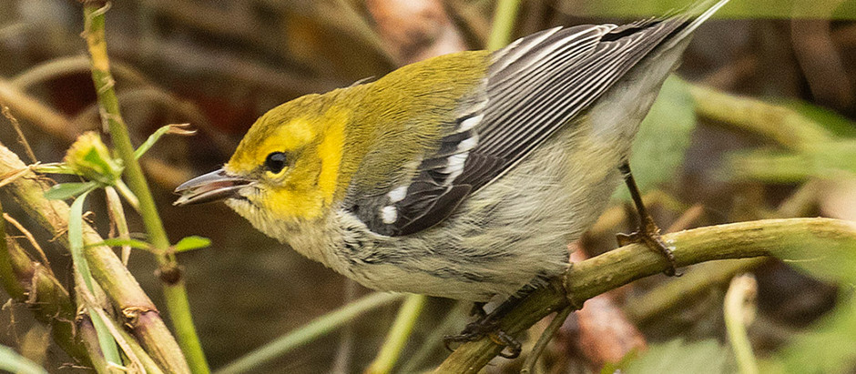 The Invasion Continues: the Migrant Birds of November