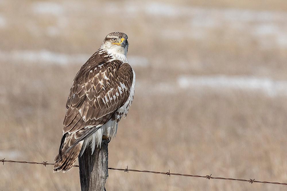 Ferruginous Hawk (age: first winter) by Deborah Allen in the Fort Pierre National Grasslands of South Dakota on 4 February 2020