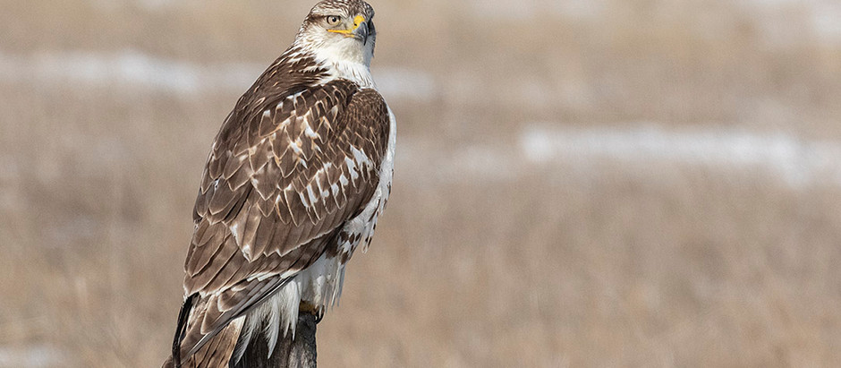 Gyrfalcons, Golden Eagles + = Winter Birds of the Short-Grass Prairie