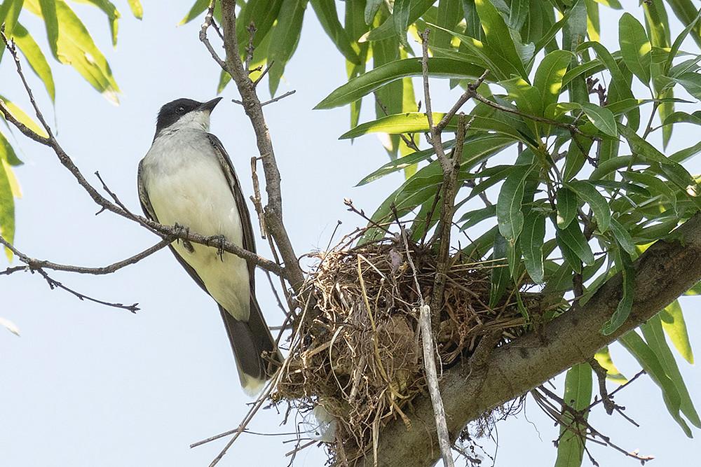 nesting Eastern Kingbird at Turtle Pond (Central Park) by Deborah Allen on 18 June 2019