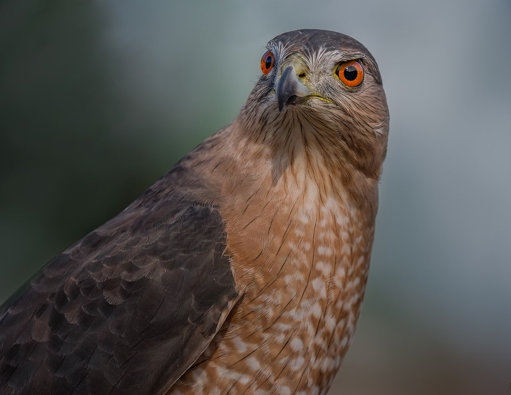 Cooper's Hawk in December 2018 at Pelham Bay Park in the Bronx