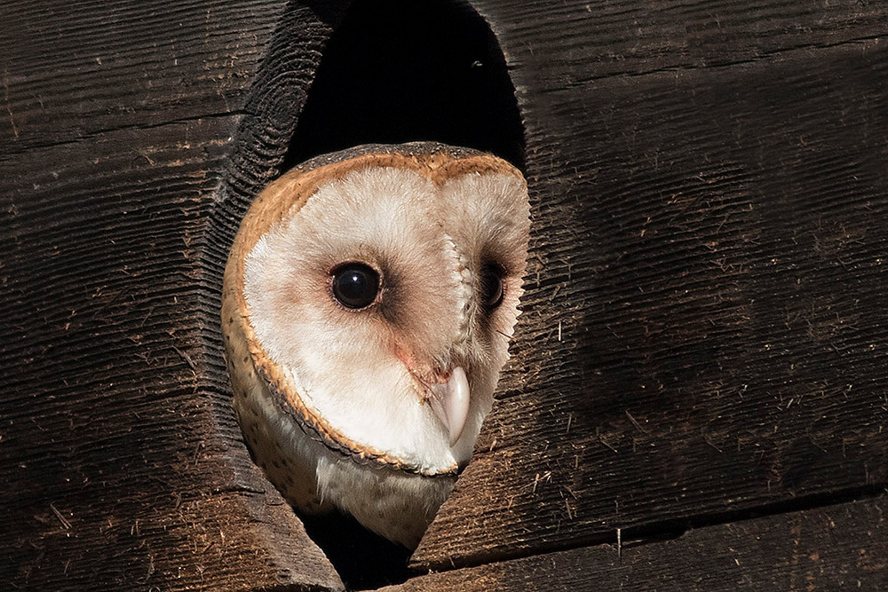 Barn Owl at Nest Box by Deborah Allen, Pelham Bay Park in the Bronx on 11 October 20152015