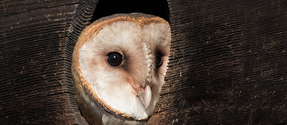 OWL MAN: Irving Kassoy, Barn Owls and the BCBC
