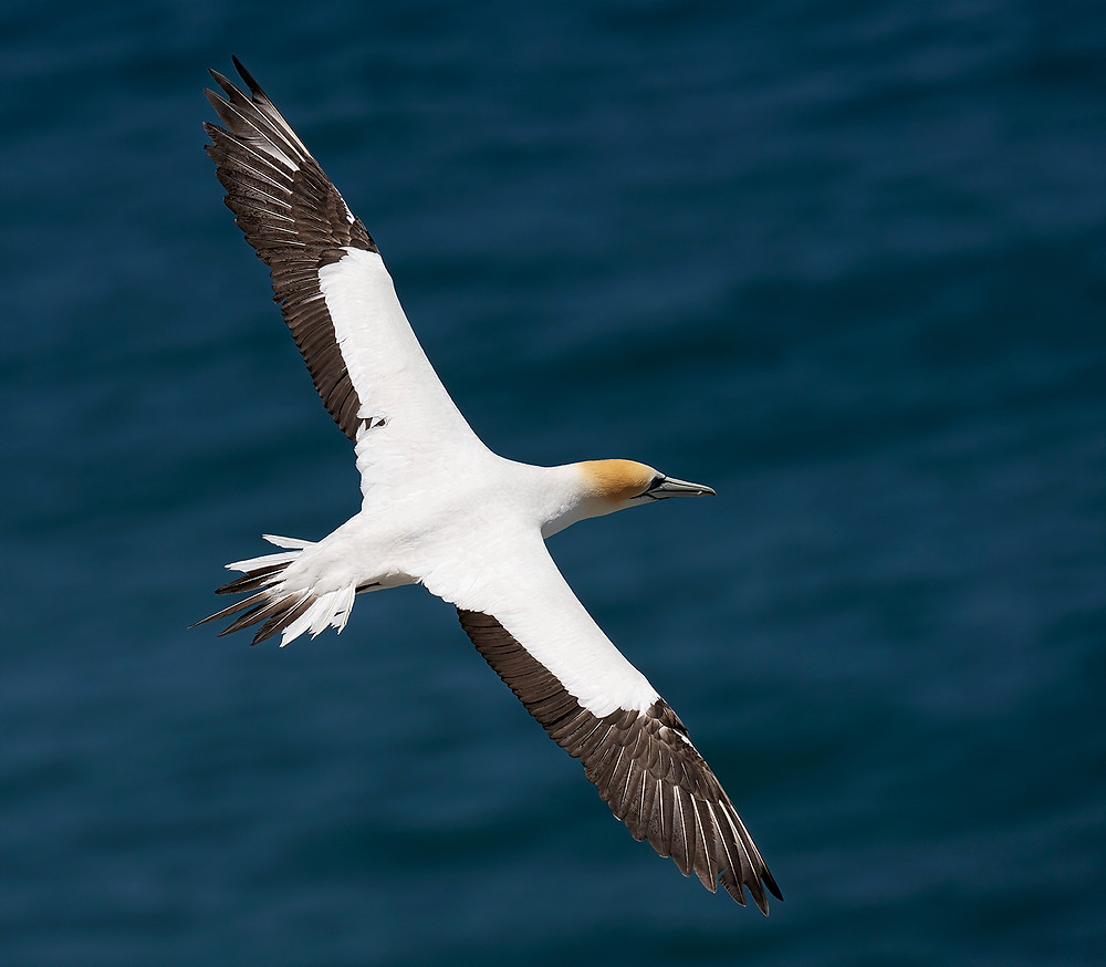 Australasian Gannet (note tail pattern) at the Muriwai Nest Colony on the North Island on 16 December 2019