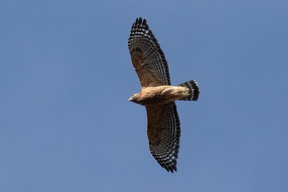 adult Red-shouldered Hawk [Deborah Allen] soaring over the Tupelo Field (Central Park) on 10 November 2019
