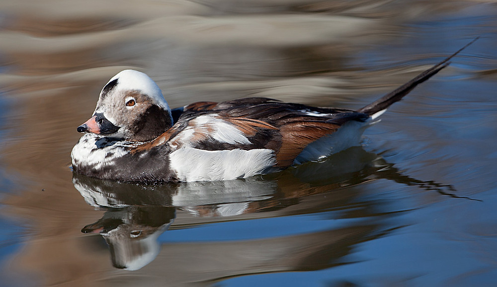 Long-tailed Duck in March 2012 by rdc