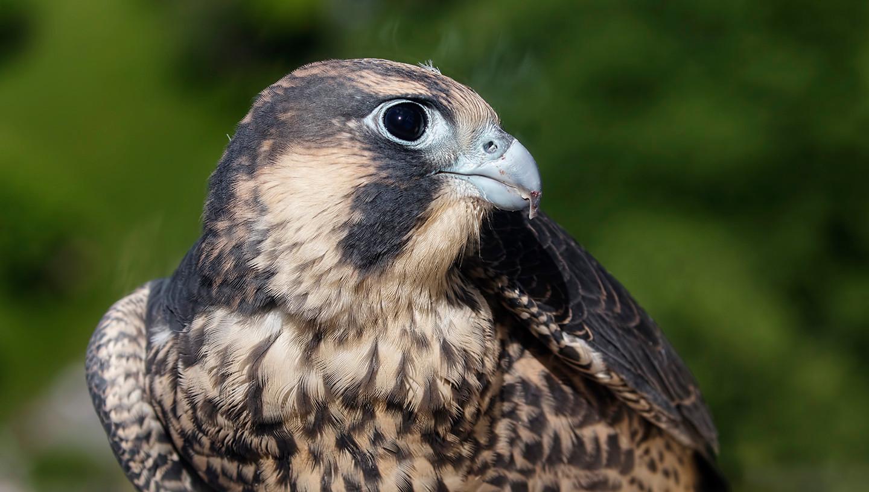 Peregrine Falcon (hatch-year bird)