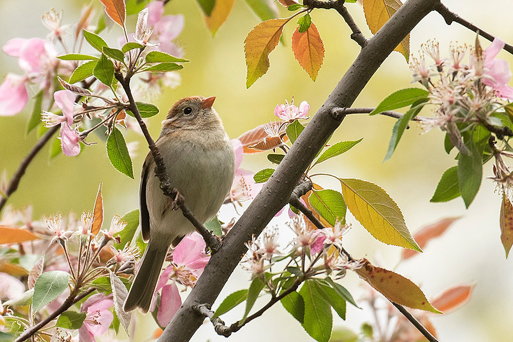 Field Sparrow in Central Park (Maintenance Field) on 28 April 2019 by Deborah Allen