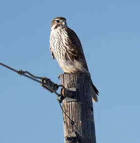 Prairie Falcon (First winter)
