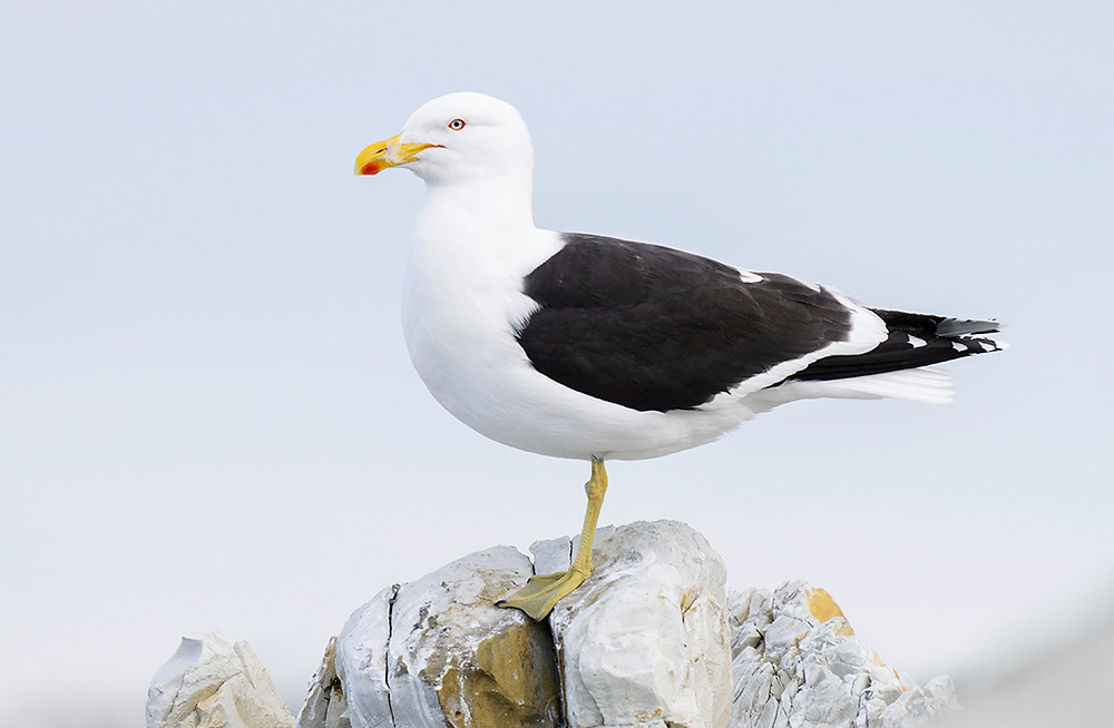 Southern Black Backed Gull (Kelp Gull) at Kaikoura (South Island) on 21 November 2019