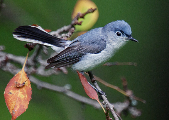 Special Issue: Spring Migration and the tiny Blue-Grey Gnatcatcher in the NYC area 1850-2015