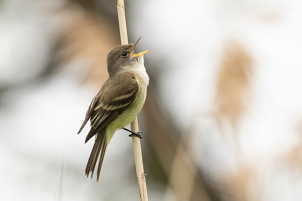 Willow Flycatcher by Deborah Allen near its nest 5 June 2019 (Pelham Bay Park, Bronx)