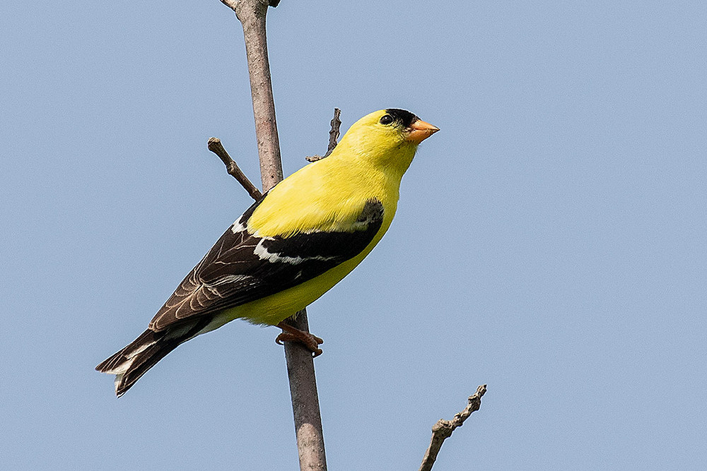 American Goldfinch, a late summer nesting species in many NYC Parks. This photo on 29 June 2019 in Pelham Bay Park by Deborah Allen