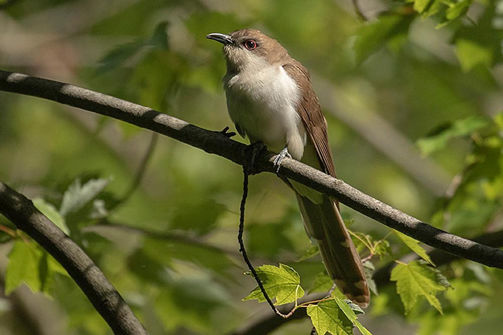 Black-billed Cuckoo, Harlem Meer (Central Park) by Deborah Allen, 24 May 2019