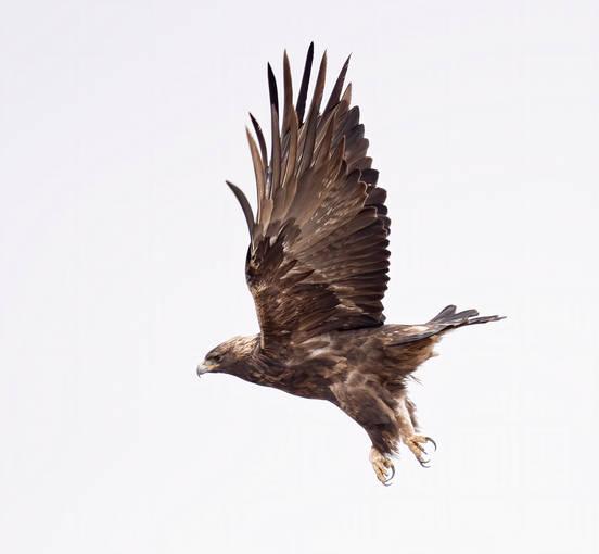 Golden Eagle (adult)