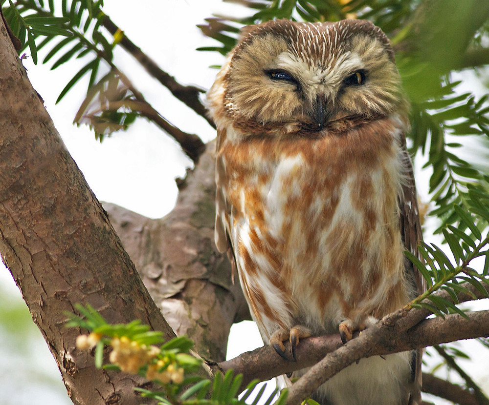 Saw-whet Owl in Central Park by Graham Reeves