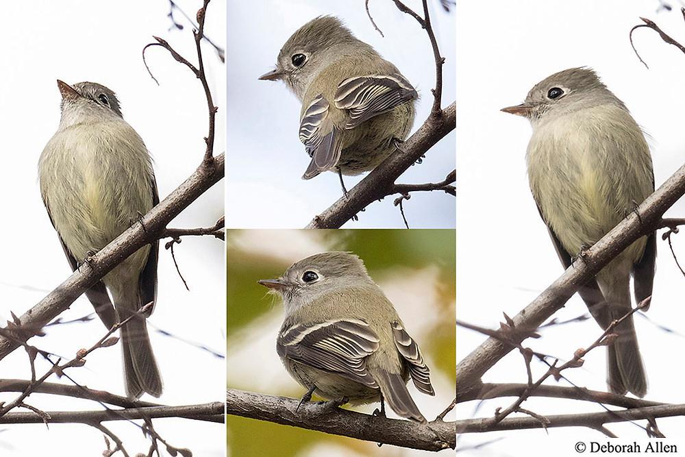 Hammond's Flycatcher in Central Park by Deborah Allen
