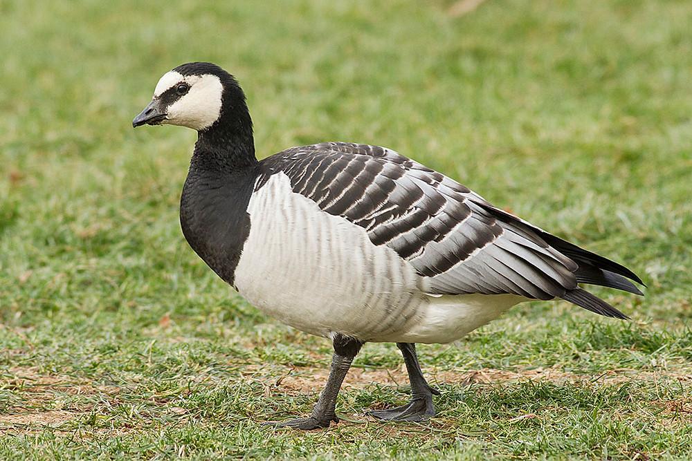 Barnacle Goose by Deborah Allen, Parade Grounds of Van Cortlandt Park, 28 November 2012