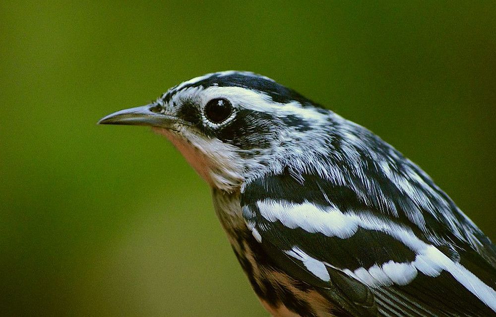 adult male Black-and-white Warbler by Doug Leffler