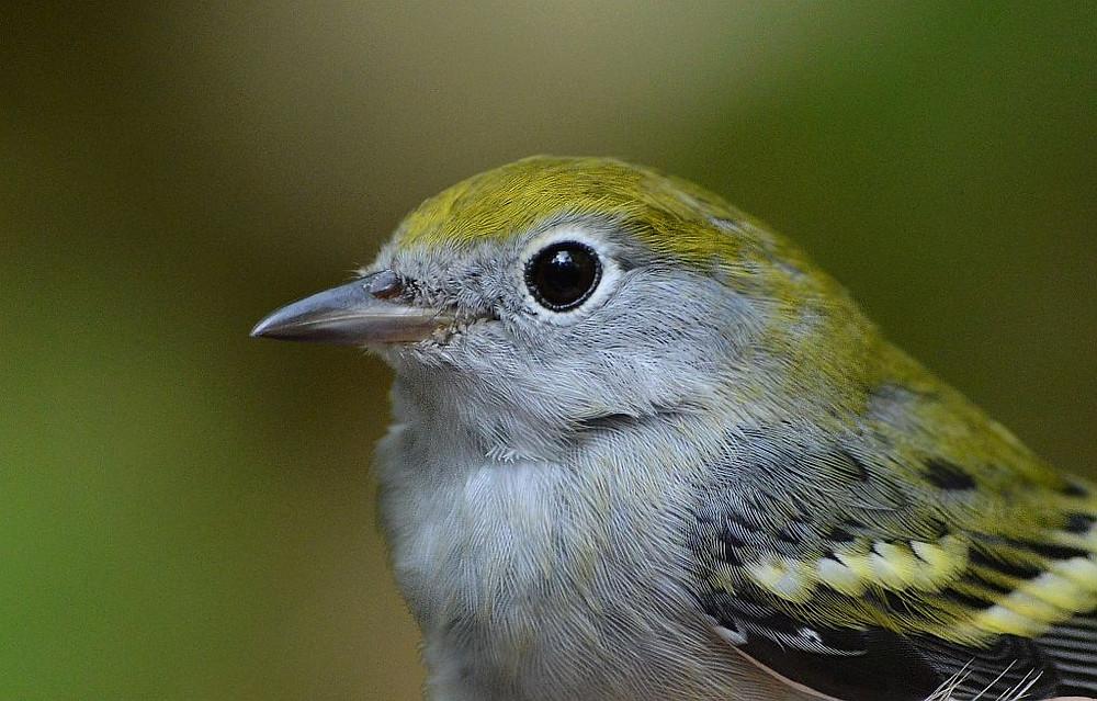 Chestnut-sided Warbler (September 2017) by Doug Leffler