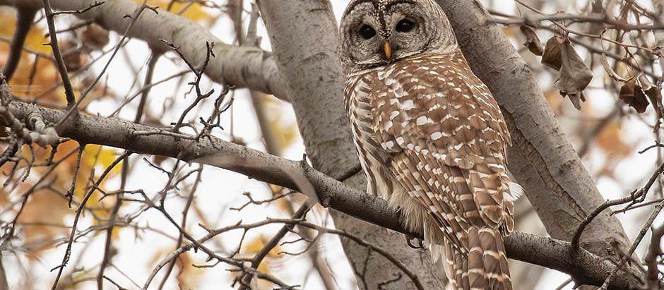 A December of Owls - Central Park