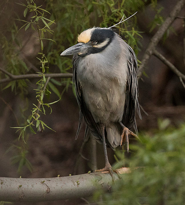 Yellow-crowned Night Heron in Central Park - 26 April 2018 by Deborah Allen