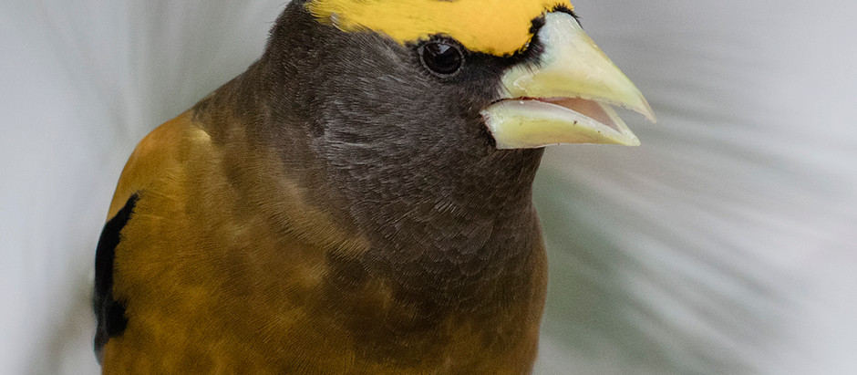 Part II: EVENING GROSBEAK. Records from NYC and Environs 1905-2020
